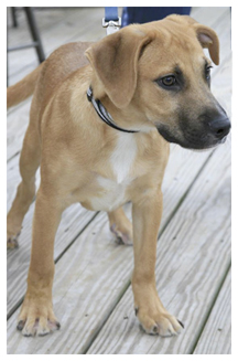 Yellow Black Mouth Cur Hog Dogs For Sale