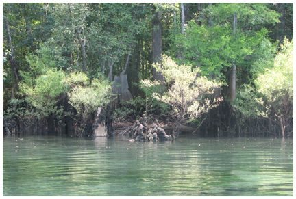 Cypress trees surround Morrison Springs.