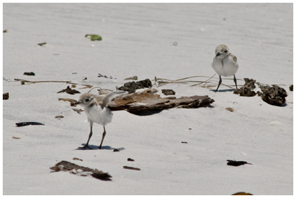 This fledgling snowy plover is learning to fly at Grayton Beach State Park. Photos courtesy Rex Lavoie, park volunteer.