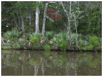 Cypress and juniper trees along with saw palmetto line the banks of the Mitchell River.