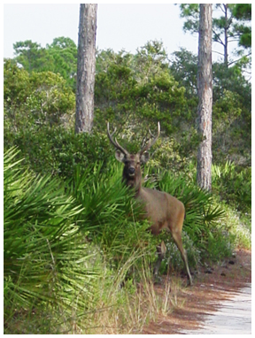 Sambar deer. Photo courtesy USFWS