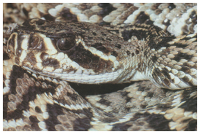 Diamond back rattle snake is venomous. Photo courtesy FWC.