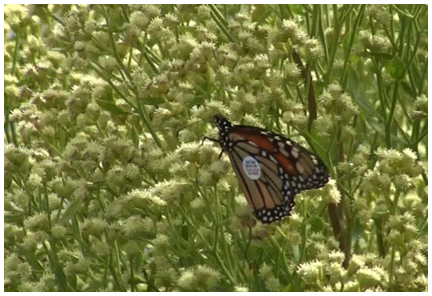 A tagged monarch feasts on Saltwater False-Willow.