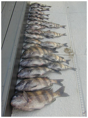 Sheepshead are here and biting walton outdoors for Sheepshead fish eating