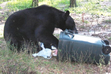 When trash is left in unsecured cans, bears are able to find an easy meal. 