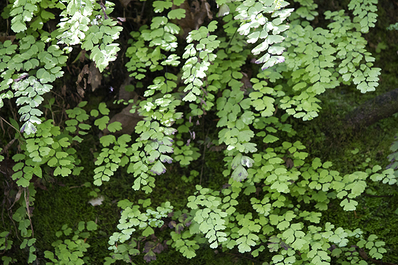 Maidenhair fern hangs over the limestone walls of Econfina Creek. Lori Ceier/Walton Outdoors