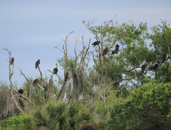Turkey vultures. Lori Ceier/Walton Outdoors