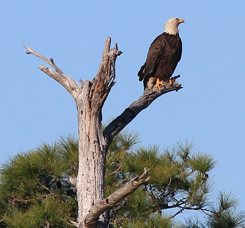 Bald eagle perched along Western Lake in South Walton County Jan. 18, 2013. Lori Ceier/Walton Outdoors