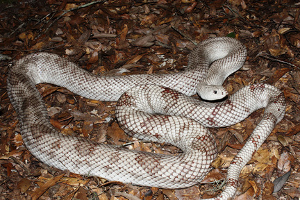 Fwc Asks Public To Report Sightings Of Rare Snakes