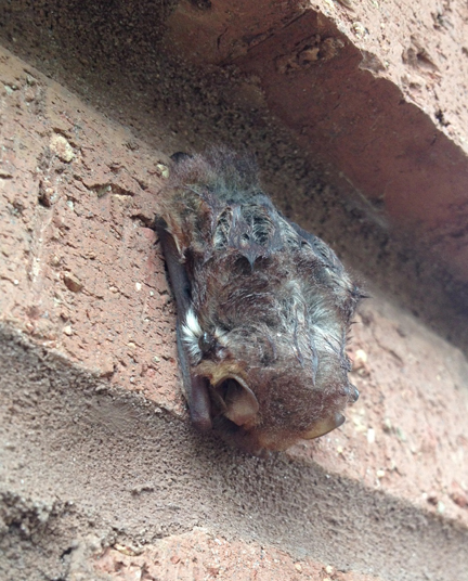 A young bat roosts along the bricks of a UWF campus building last summer. Photo courtesy Escambia County Extension Office.