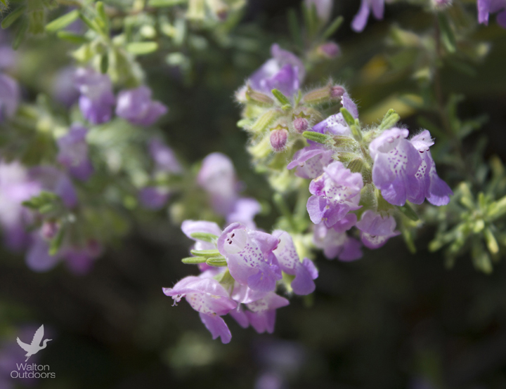 Conradina is a genus of flowering plants in the mint family, Lamiaceae. Its common name is false rosemary. Lori Ceier/Walton Outdoors