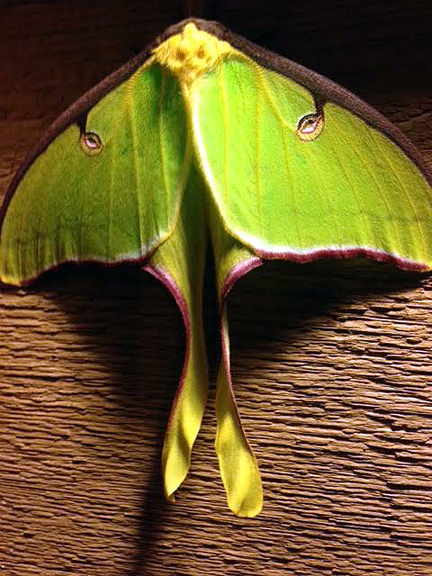 Sherry McCall captured this photo of a luna moth on her workshop wall.