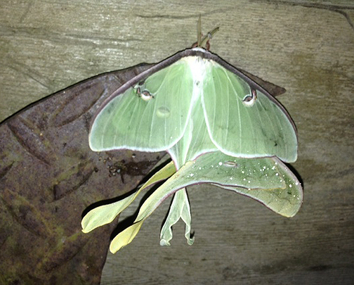 Luna moth union on the wall. Photo courtesy Sherry McCall.