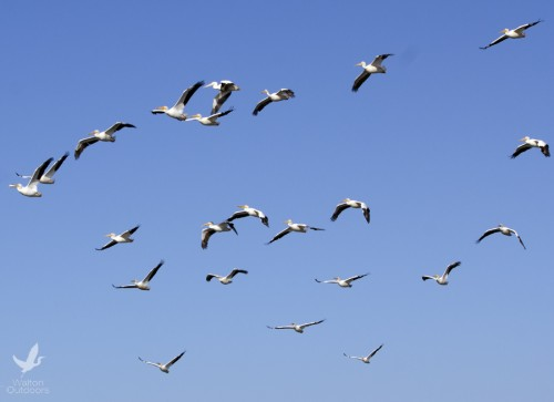 White pelicans soar above the bay. Lori Ceier/Walton Outdoors