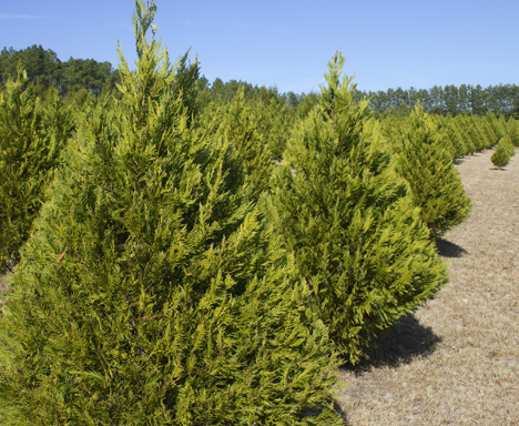 Arizona Blue Ice Cypress is one of the varieties of Christmas trees you can choose from at Strickland's Christmas Tree Farm. Lori Ceier/Walton Outdoors