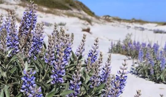 Gulf coast lupine (Lupinus westianus) can be found in many areas in South Walton. Lori Ceier/Walton Outdoors
