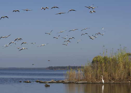 A heron wades and white pelicans fly over a jetty area where the former marina once existed in the Bay fill area. Lori Ceier/Walton Outdoors