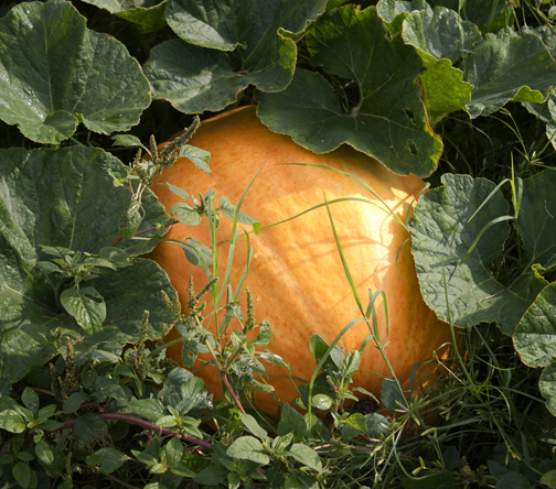 Find the perfect pumpkin at Cypress Cattle and Produce Farm.