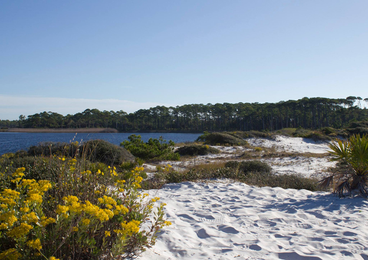 Golden aster along the dune trail at Grayton Beach State Park. Lori Ceier/Walton Outdoors