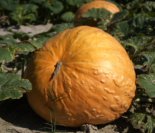 Pick your own pumpkin at Cypress Cattle and Produce Farm. Lori Ceier/Walton Outdoors