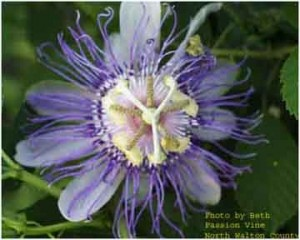 Passion Vine (Passiflora incarnata) Blooms in the fall and can be found in fields and roadsides. Photo courtesy Dara Dobson