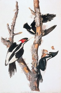 Ivory-billed Woodpecker Ivoryu-billed Woodpecker illustration by J.J. Adubon (courtesy Cornell Lab of Ornithology). The painting is showing male (left) and female plumages, and individuals involved in characteristic foraging behavior - stripping bark from dead trees in search of beetle larvae.
