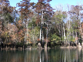 The cypress trees at Morrison Springs cast a golden-brown hue on the crystal-clear water of Morrison Springs. Lori Ceier/Walton Outdoors