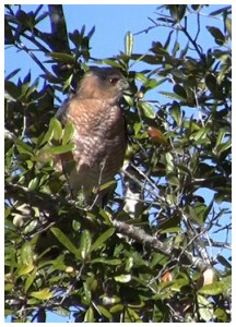 Sharp-shinned hawk. Photo by Lori Ceier/Walton Outdoors