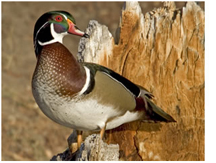 Wood duck. Photo courtesy Bill Buckley/FWC