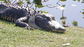 An alligator suns himself along the Tamiami Trail. Lori Ceier/Walton Outdoors