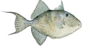 Triggerfish illustration courtesy FWC.