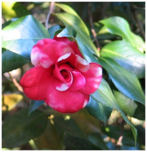 Camellias in bloom at Eden Gardens State Park. Lori Ceier/Walton Outdoors