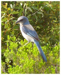 Scrub jay photo courtesy Stacy Meader/Choctawhatchee Audubon Society