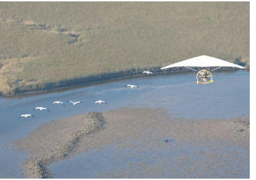 Whooping cranes over salt marsh, St. Marks NWR. Photo courtesy Operationmigration.org