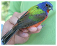 Painted bunting photo courtesy FWC.