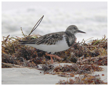 A ruddy turnstone comes to the buffet table provided by washed-up seaweed, called beach wrack. (FWC photo)