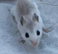 Beach mouse photo courtesy FWC.