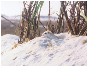 Beach mouse photo courtesy FWC.