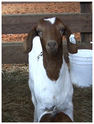 A Boer goat kid.