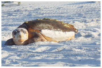 Female loggerhead turtle.