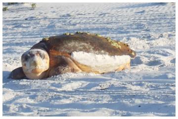 Female loggerhead turtle.