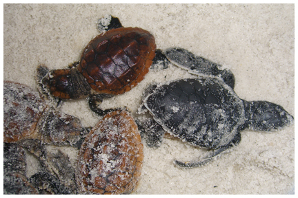 Green and loggerhead turtle hatchlings.