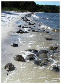 Horseshoe crabs gather at Phillippe Park, Safety Harbor. (FWC photo)