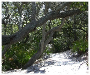 Path at Grayton Beach State Park.