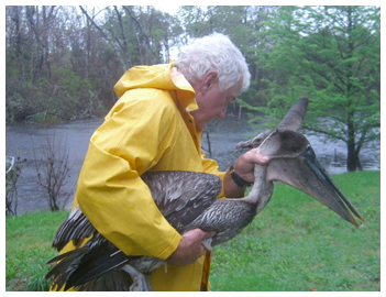 Thomas Maxwell rescues weary pelican.