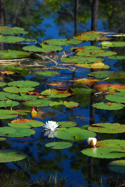 lilly-pads-017