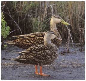 Florida mottled ducks, like these, could become extinct if released mallards interbreed with them. (FWC photo by Marc Epstein)