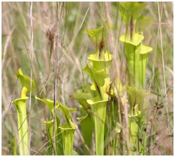 Yellow Pitcher plants (Sarracenia Flava). Photo courtesy Josh Foreman
