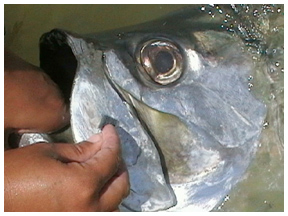 An angler takes a DNA scrape from the outer jaw of a tarpon. (FWC photo)