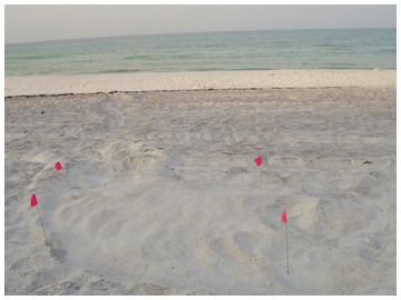 Nest No. 13. loggerhead found by Anthony Head, between Ed Walline and Gulfview Heights access on June 19.